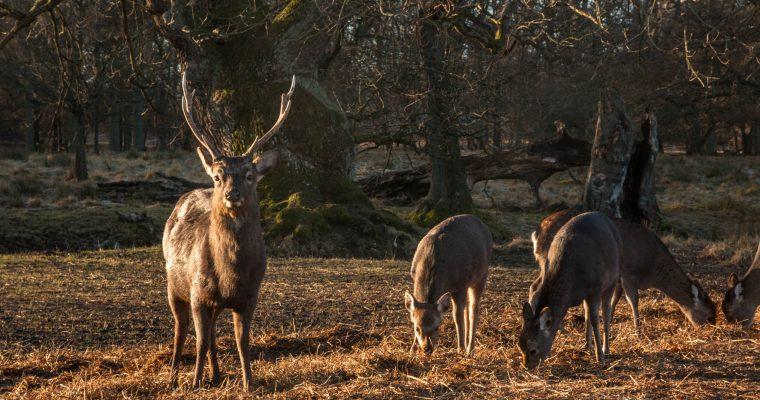 Jaegersborg Dyrehave: een prachtig natuurgebied voor het spotten van herten