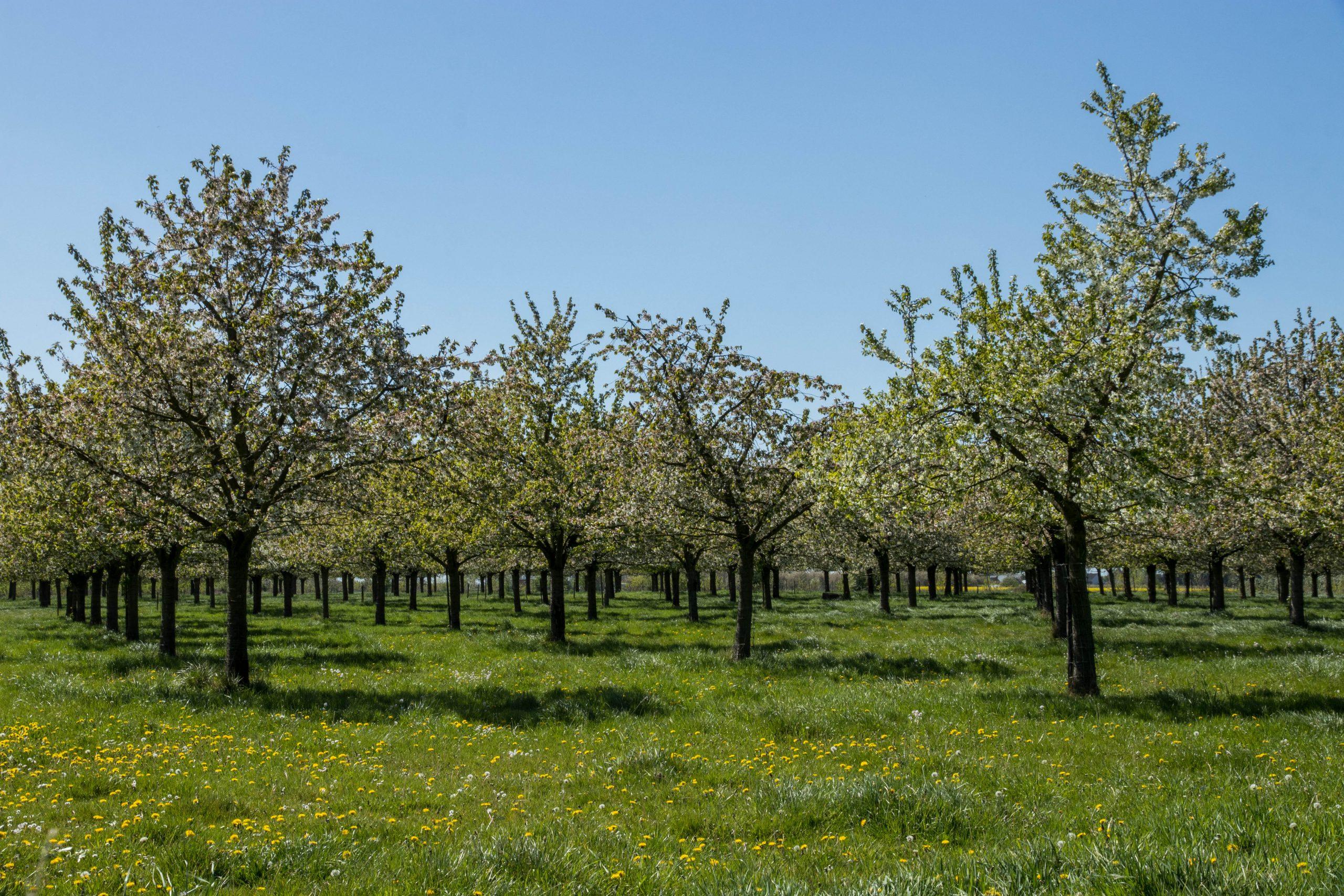 Fruitvalleiwandeling in Sint-Truiden: langs de fruitbomen en mooie picknickplekjes